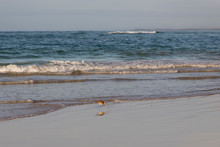 Whimbrel Wading In Shallow Wat...