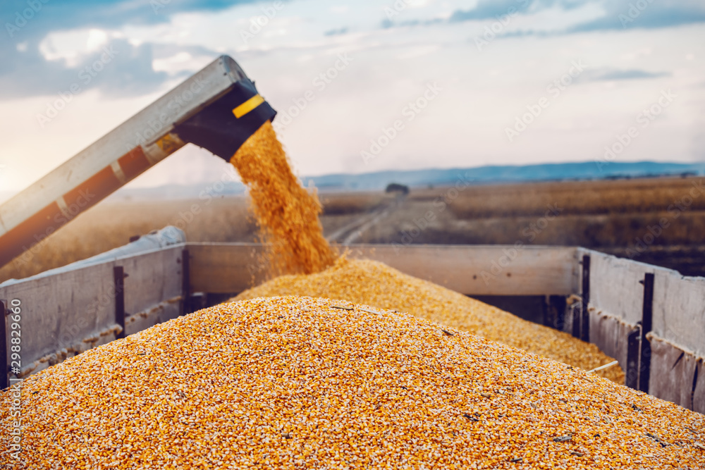 Fototapety, obrazy: Machine for separating corn grains working on field and filling tractor trailer with corn. Autumn time. Husbandry concept.