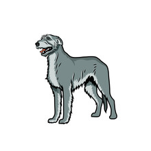 Irish Wolfhound Dog - Isolated...