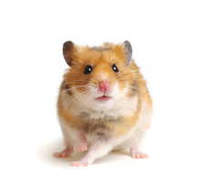 Cute Funny Syrian Hamster On W...