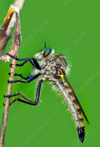 Macro shot of a robber fly