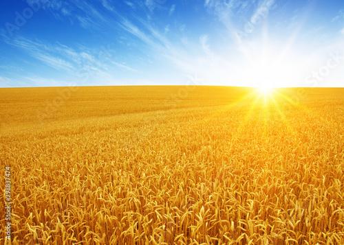 Foto op Plexiglas Weide, Moeras Wheat field and sun