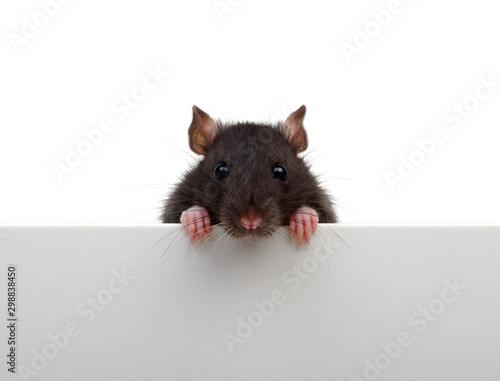 Fototapeta Portrait of a black rat isolated on white