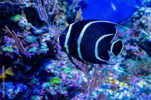 Photo Pennant coralfish (Heniochus acuminatus) are floating in an aquarium