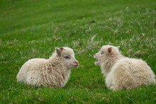 Two Small Sheep Laid Down Talking Over The Grass