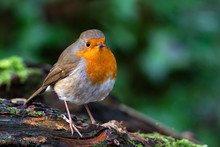Robin Redbreast ( Erithacus Ru...