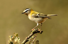 Kinglet Perched On A Twig