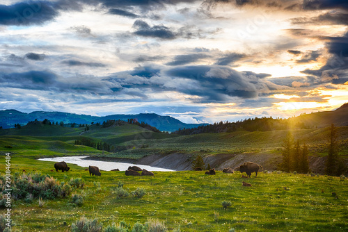 Buffaloes in Yellowstone national park in USA