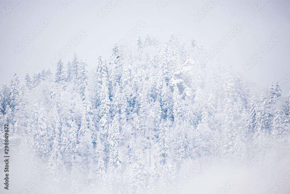 snowy fir trees in fog - winter in the mountains