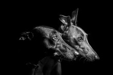 Two Lurchers Isolated On A Black Background