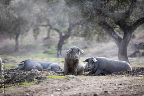 Foto  Iberian pigs in full freedom eating and resting in nature