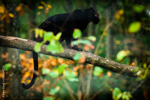 Photo  Black panther on the tree in the jungle