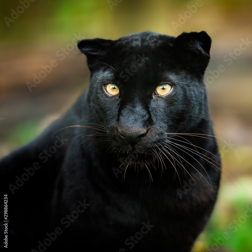 Poster Panter Black panther in the jungle