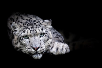 Fototapeta Popularne Snow leopard with a black background
