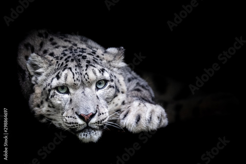 Poster Leopard Snow leopard with a black background