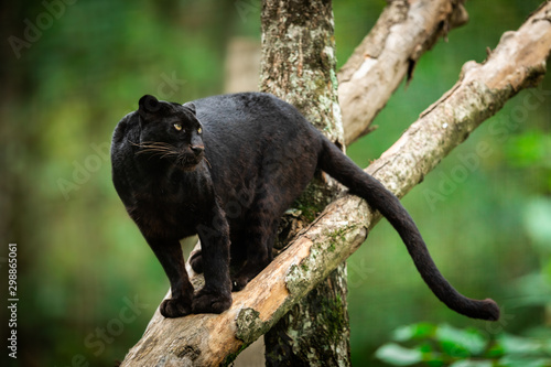 Black panther on the tree in the jungle Canvas Print