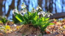 Galanthus Nivalis Or Common Sn...