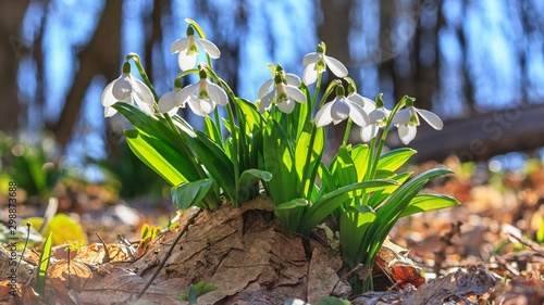 Obraz Galanthus nivalis or common snowdrop - blooming white flowers in early spring in the forest, closeup - fototapety do salonu