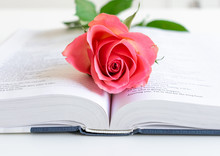 Pink Rose On Open Bible. Close-up On White Background