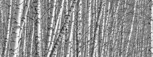 Fond de hotte en verre imprimé Taupe Birch grove on a spring day, landscape banner, huge panorama, black-and-white
