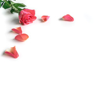 Pink Rose With Pedals On White Background
