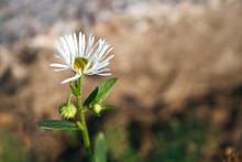 Beautiful Flower Of Erigeron A...