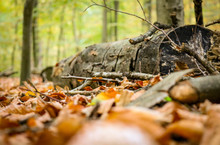 Ground Level Close Up Of A Fallen Tree Trunk Laying On A Forest Ground Covered With Autumn Leaves.