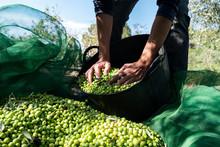 Man Harvesting Olives In Spain