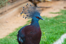 The Western Crowned Pigeon (Goura Cristata), Or Common Crowned Pigeon Or Blue Crowned Pigeon, A Large, Blue-grey Pigeon With Blue Lacy Crests Over The Head And Dark Blue Mask Feathers Around Its Eyes