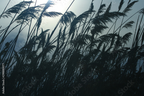 Silhouette of Sea Oats on Beach Dune Canvas Print