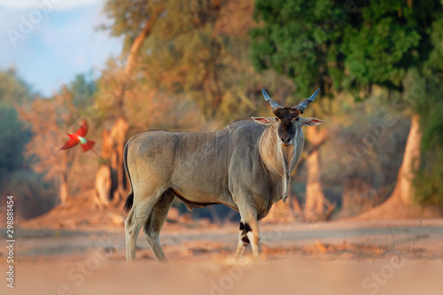 Spoed Fotobehang Antilope Common Eland - Taurotragus oryx also the southern eland or eland antelope, savannah and plains antelope found in East and Southern Africa, family Bovidae and genus Taurotragus