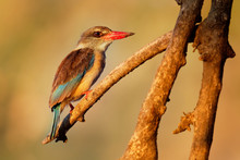 Brown-hooded Kingfisher - Halcyon Albiventris Red Billed Bird With Brouwn And Blue Back From Sub-Saharan Africa, Living In Woodland, Scrubland, Forest Edges