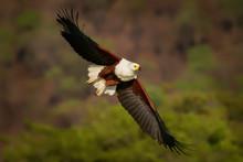 African Fish-eagle - Haliaeetu...