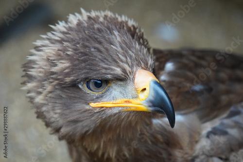 Photo Steppe eagle