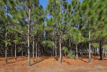 A Grove Of Pine Trees Planted ...