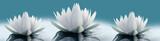 Fototapeta Kwiaty - Lilie wodne na zielonym tle do kuchni