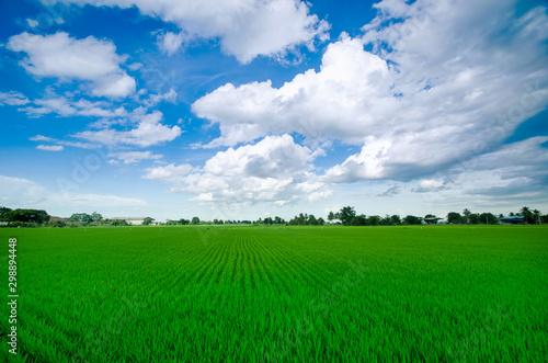 Foto auf Gartenposter Grun Rice field green grass blue sky cloud cloudy landscape