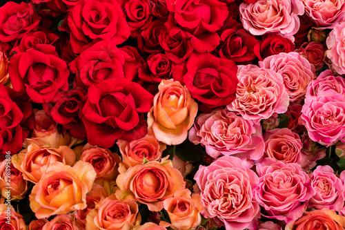 Fototapeta Rosen in verschiedenen Rottönen obraz