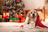 Fototapeta Zwierzęta - Adorable dog and cat together under blanket at room decorated for Christmas. Cute pets