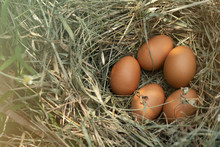 5 Chicken Eggs In The Ovary In Organic Rearing That Is Close To Nature