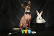 Thoroughbred Xoloitzcuintli dog dressed as a magician