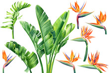 Jungle Design, Set Of Strelitzia Flowers And Leaves On An Isolated White Background, Watercolor Tropical Plants, Botanical Illustration, Africa