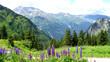 Landschaft in Vorarlberg, Österreich, hohe Berge und steile Felswände, im Vordergrund blaue Lupinen
