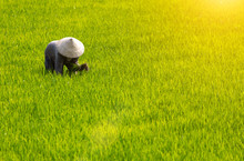 Woman Nationality Mnong In Daklak Province In The Morning, Working In The Rice Fields, Among The Green Rice Seedlings.