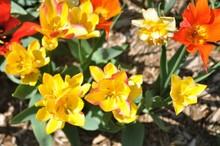 Yellow Daffodils 2