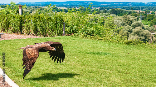 Mighty sea eagle in low flight casting a shadow on the grass Wallpaper Mural