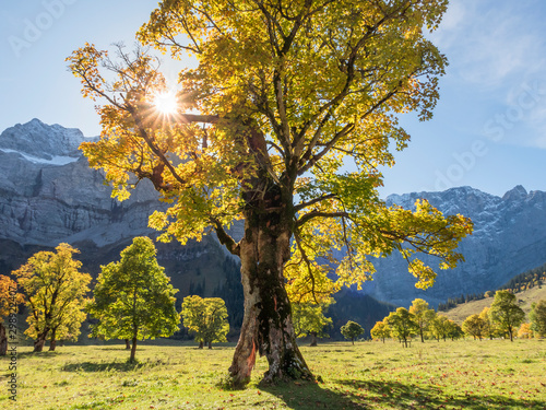 Photo Stands Roe Gnarled, hundreds of years old ree with an autumn color change through the sunlight, from orange to yellow, at the Great Ahornboden, Austria