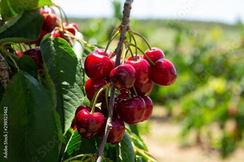 Ripe sweet cherries on tree Fotobehang