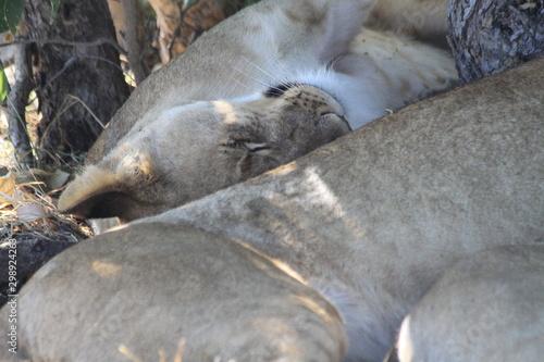 Photo  Copines lionnes
