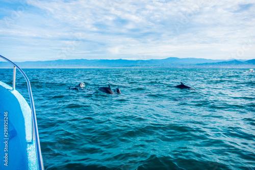 grupo de delfines comiendo Canvas Print